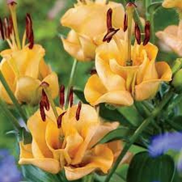 Apricot Fudge (Garziedu-Āzijas lilijas hibrīds)
