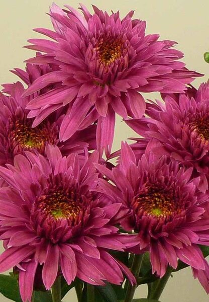 Plant box with  10 Chrysanthemum pots