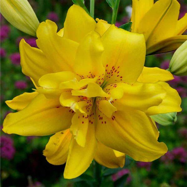 Fata Morgana (Āzijas lilijas hibrīds)