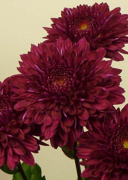 Plant Box with perrenial Chrysanthemums Nr.1