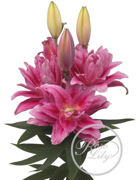 Roselily Viola ( Austrumu lilija)