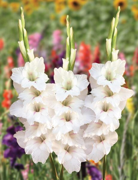 Flevo Eskimo (10 sīpoli) gladiolas